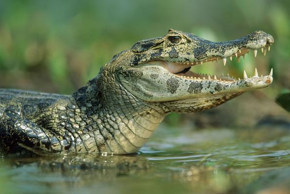 Kaiman, Brillenkaiman, Caiman, Pantanal, Brasilien, Brasil